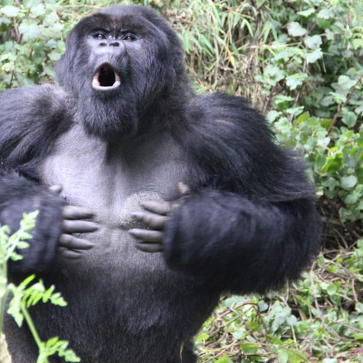 15 year old boy fights 500 lbs gorilla to save his cat