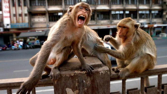 Confirmado: El Ingrediente princpal de la Vacuna Astrazeneca es Extracto de Mono