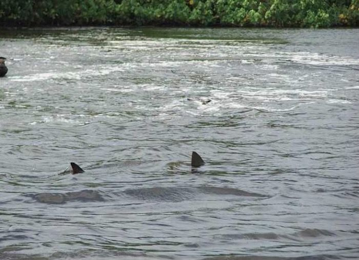 Shark sightings in Lewis Smith Lake Reservoir!
